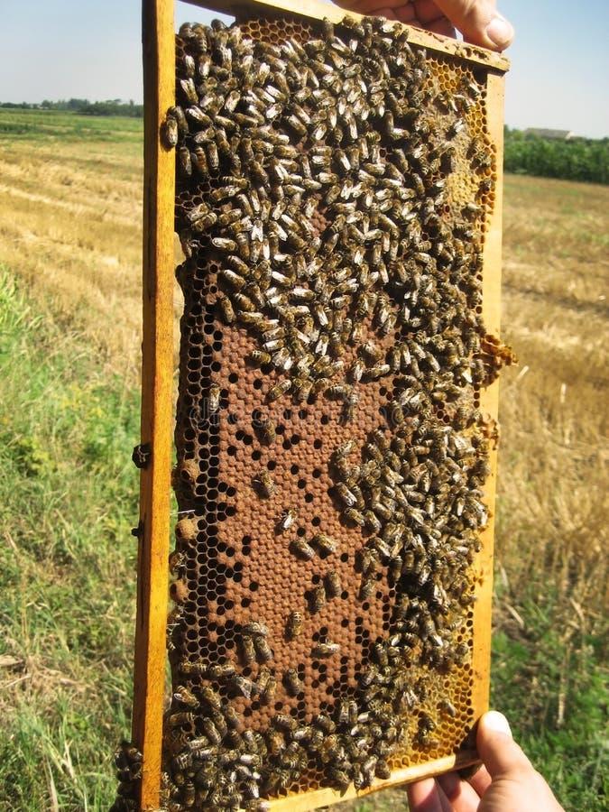 Abelhas e favo de mel imagem de stock royalty free