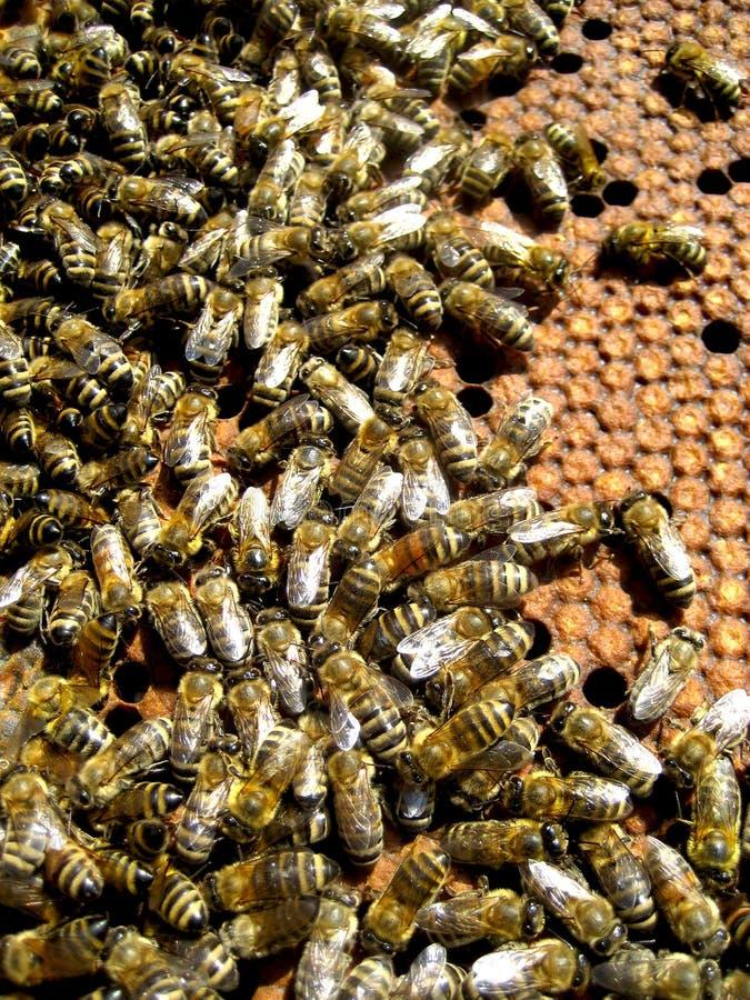 Abelhas e favo de mel imagens de stock