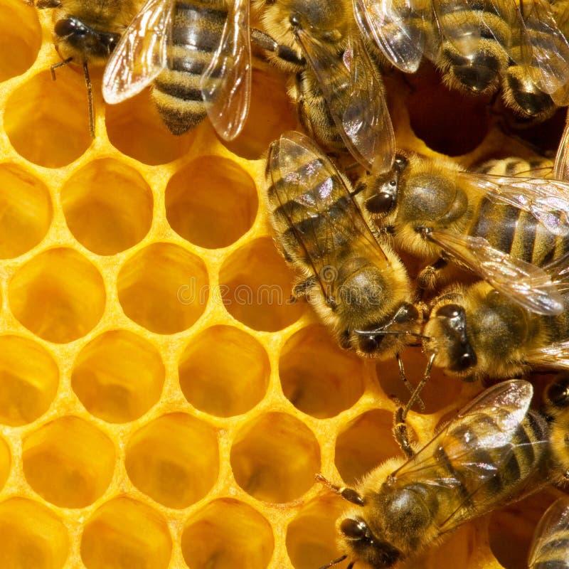 Abelhas em honeycells fotos de stock