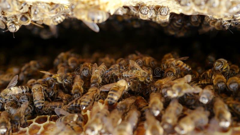 Abelhas em uma colmeia imagem de stock