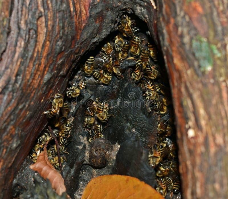 Abelhas na cavidade da árvore fotografia de stock royalty free