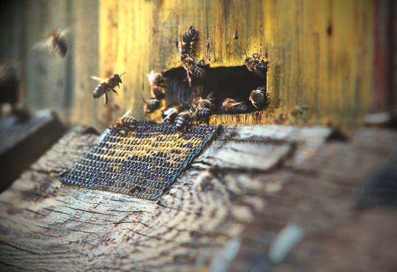 Abelhas na colmeia fotografia de stock