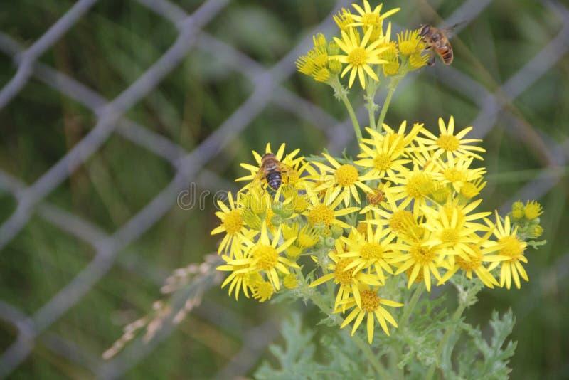 Abelhas na flor amarela 2 fotografia de stock