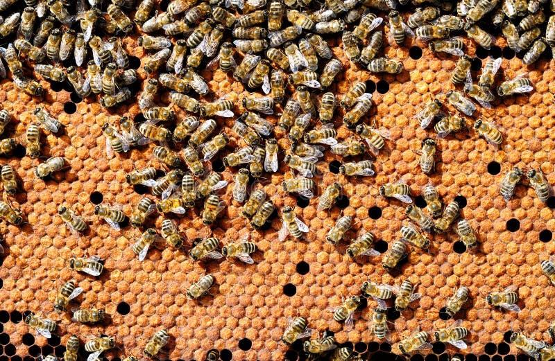 Abelhas na ninhada caloroso da abelha dos favos de mel Apicultura fotografia de stock