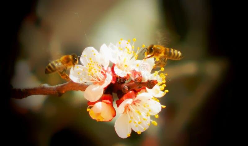 Abelhas nas flores do pêssego fotografia de stock royalty free
