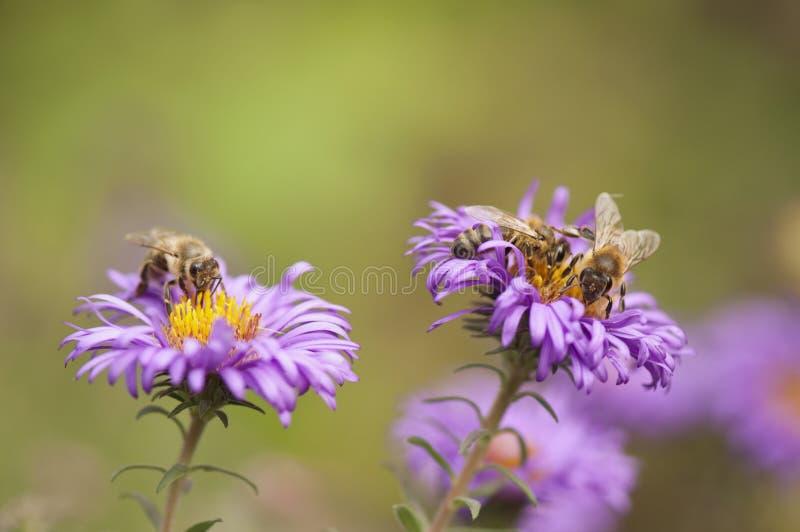 Abelhas que coletam o pólen imagem de stock