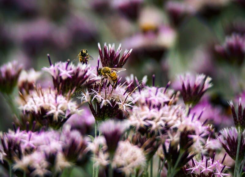 Abelhas que pollinating flores foto de stock