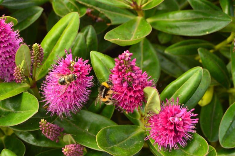 Abelhas que pollinating flores Animais, ofícios, retrato fotografia de stock