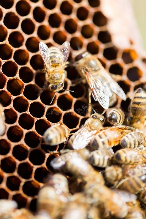 Abelhas que pululam no favo de mel imagens de stock royalty free