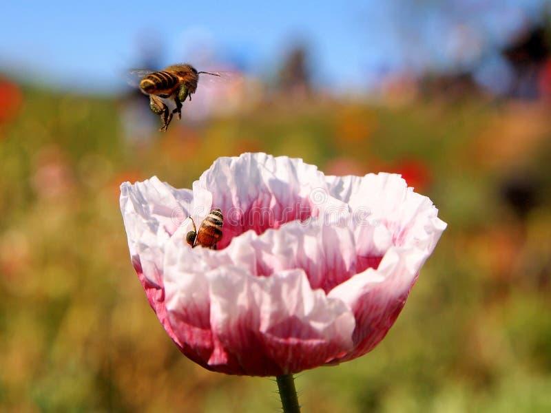 Abelhas que trabalham com flor colorida imagem de stock
