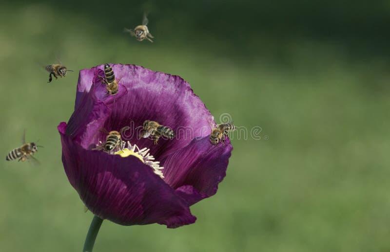 Abelhas que voam na flor da papoila imagem de stock royalty free