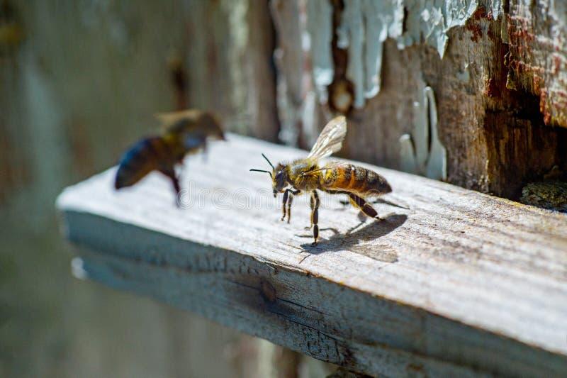 Abelhas que voam para trás na colmeia após um período intenso da colheita fotos de stock