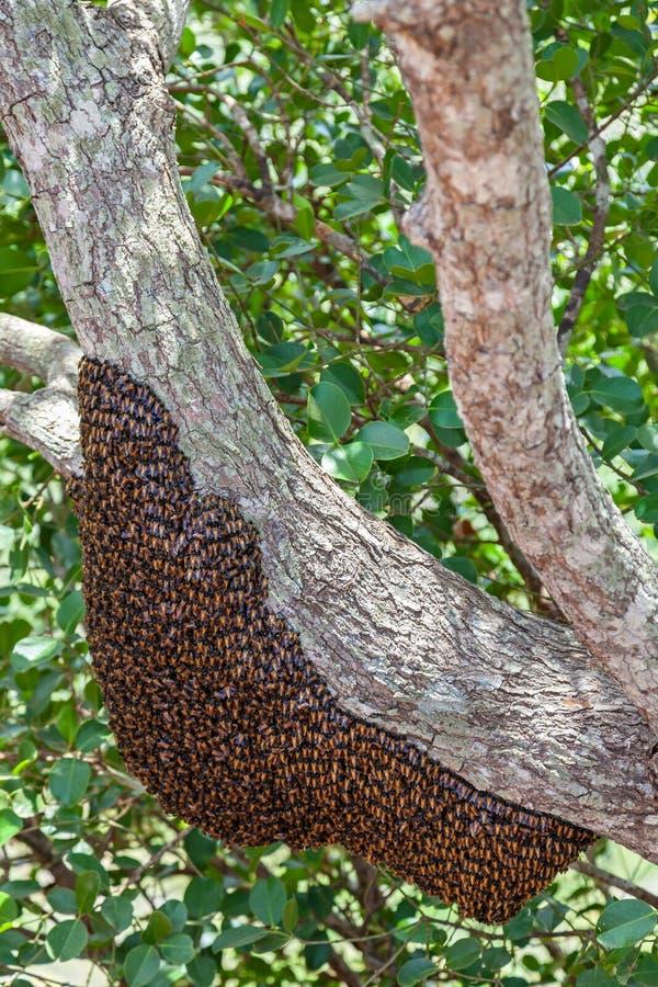 Abelhas selvagens em Sri Lanka fotografia de stock