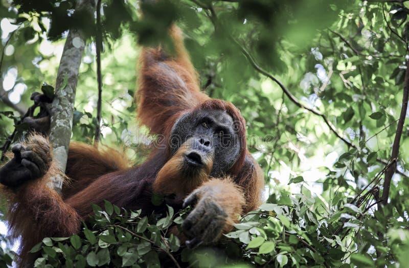 Abelii masculin de Pongo d'orang-outan de Sumatran dans des arbres de forêt tropicale photos libres de droits