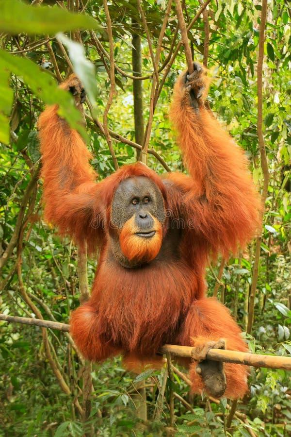 Abelii masculin de Pongo d'orang-outan de Sumatran se reposant sur un bambou en GU photos stock
