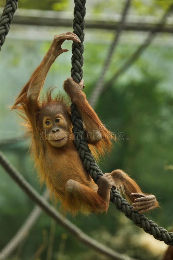 Abelii nouveau-né de Pongo d'orang-outan de Sumatran images libres de droits
