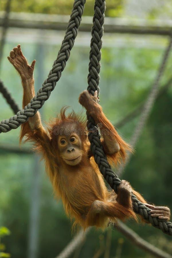 Abelii nouveau-n? de Pongo d'orang-outan de Sumatran images stock