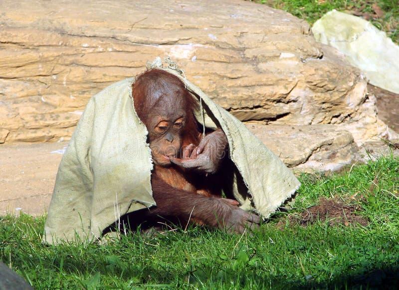 Abelii novo do Pongo do orangotango de Sumatran que esconde sob um pano foto de stock royalty free