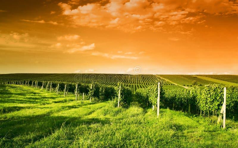 Abendansicht der Weinberge stockfoto