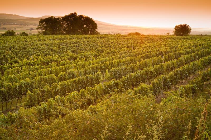 Abendansicht der Weinberge lizenzfreie stockfotografie