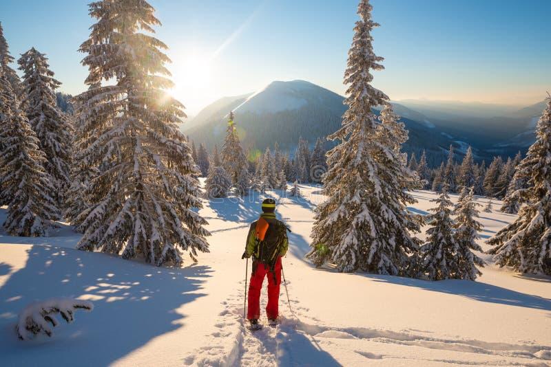 Abenteurer in den Schneeschuhen steht unter enormen Kiefern lizenzfreies stockbild