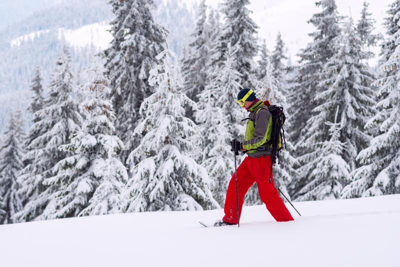 Abenteurer geht, unter enormen Kiefern snowshoeing stockfotos