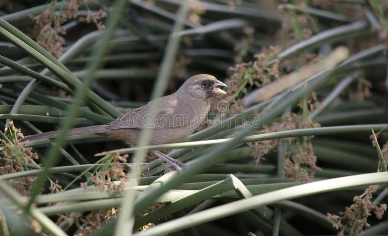 Aberts Towhee bird, Sweetwater Wetlands, Tucson Arizona desert stock images