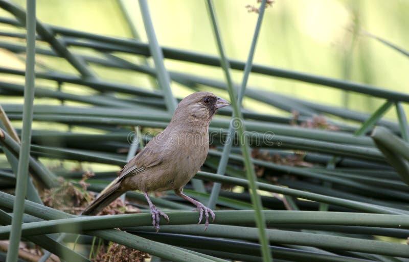 Aberts红眼雀鸟, Sweetwater沼泽地,图森亚利桑那沙漠 免版税库存照片