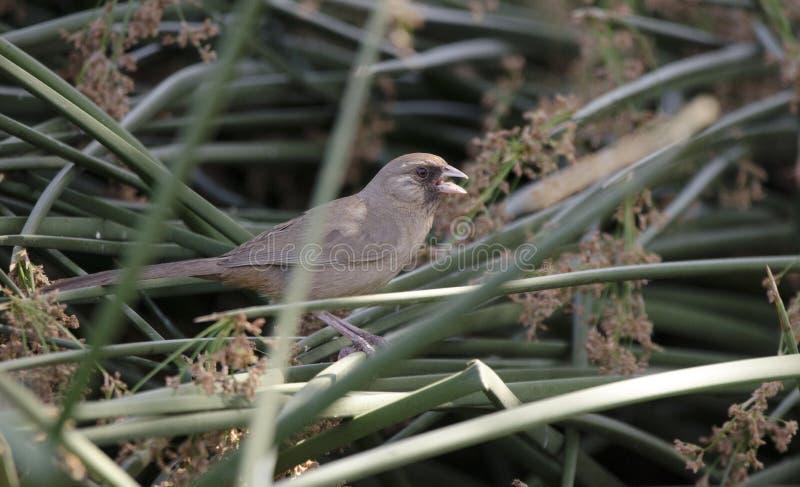 Aberts红眼雀鸟, Sweetwater沼泽地,图森亚利桑那沙漠 库存图片