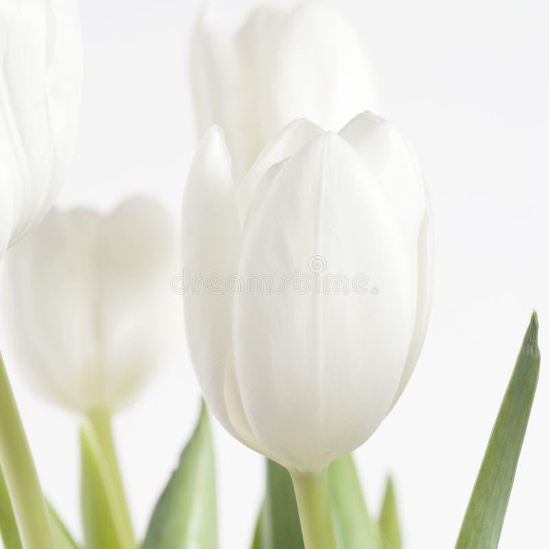 Abertura branca do tulip apenas quadrada fotografia de stock royalty free