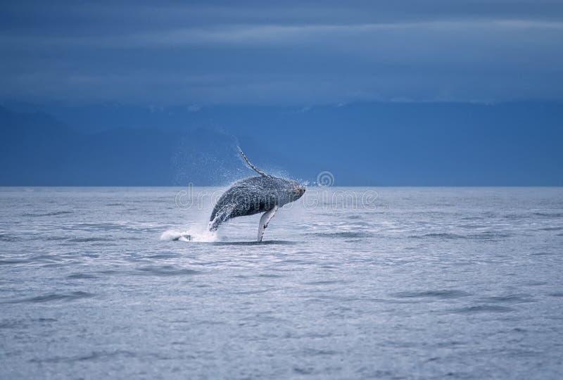 Abertura de la ballena de Humpback imágenes de archivo libres de regalías