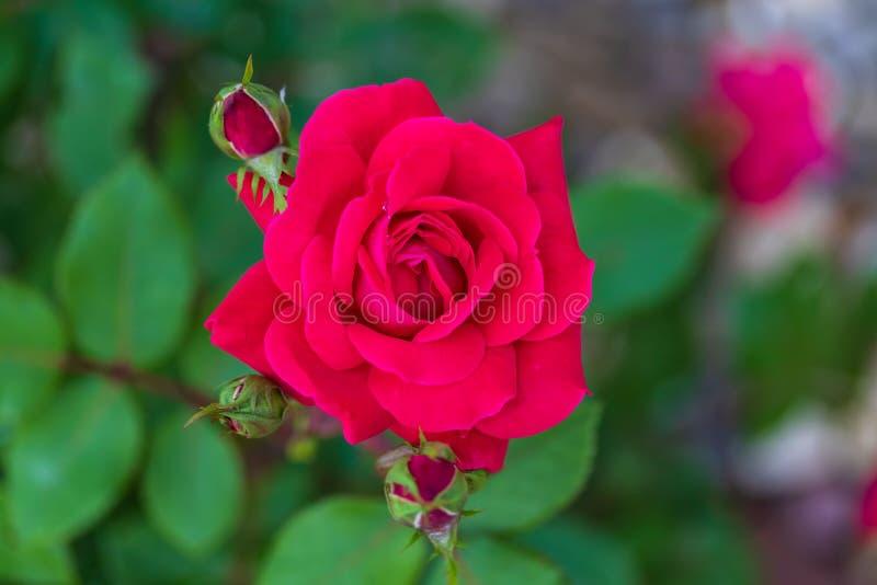 Abertura de uma flor cor-de-rosa vermelha no jardim de rosas fotografia de stock royalty free