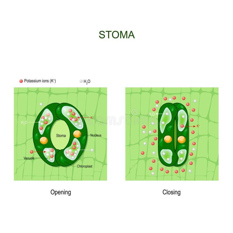 Abertura e fechamento do estoma anatomia do complexo stomatal ilustração royalty free