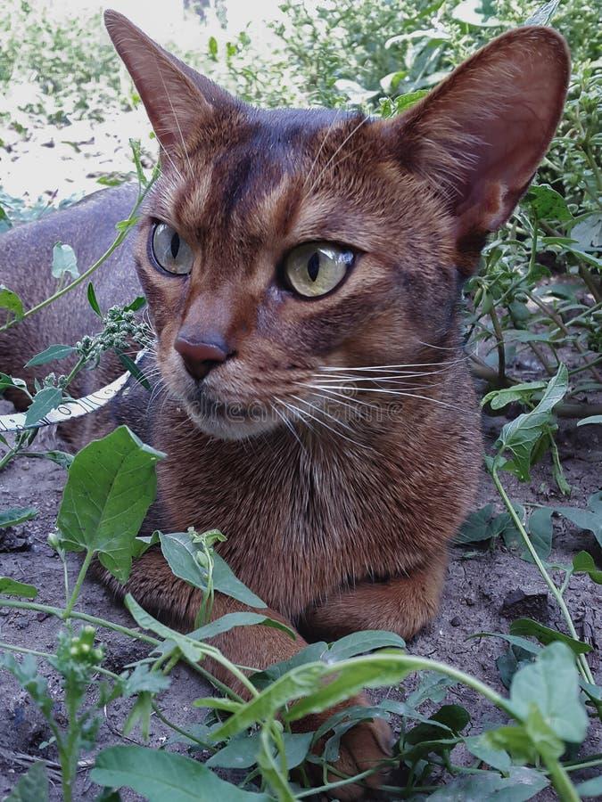 Abessin katt arkivbild