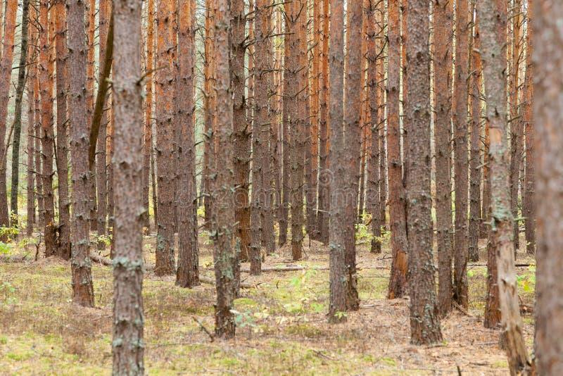 Abetaia con molti alberi all'autunno fotografia stock libera da diritti