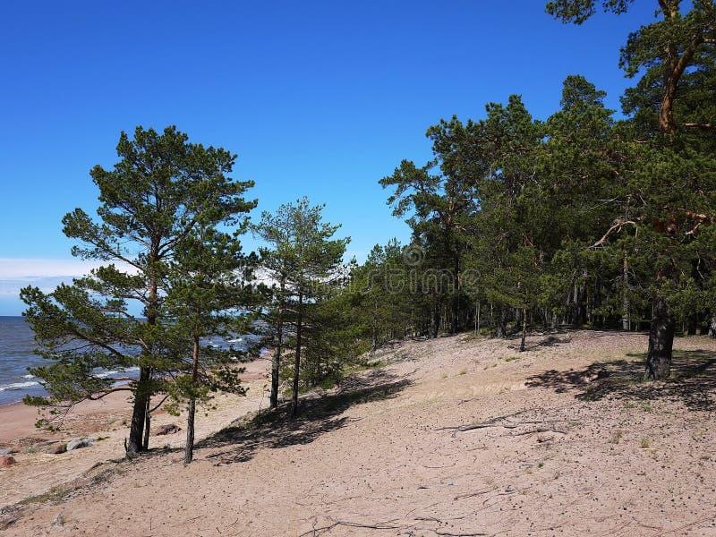 Abetaia e spiaggia della costa del golfo di Finlandia sulla costa del Mare del Nord immagine stock
