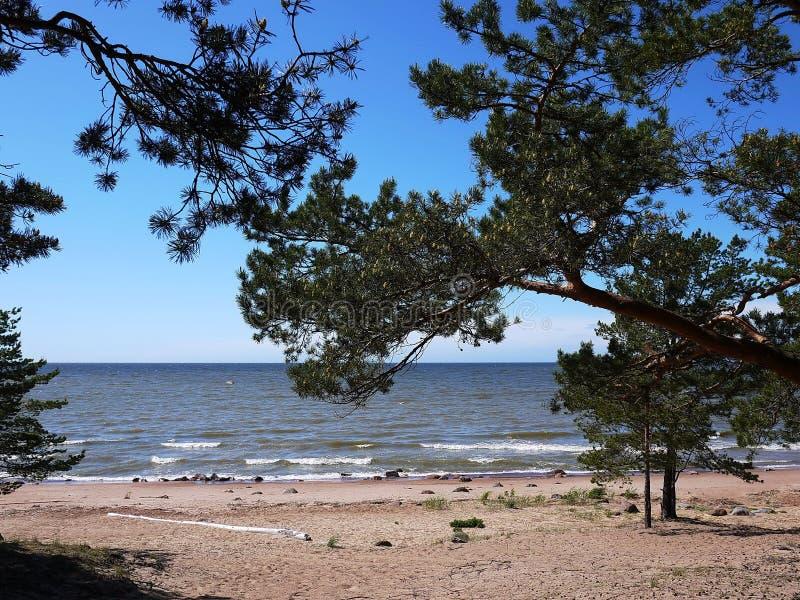 Abetaia e spiaggia della costa del golfo di Finlandia sulla costa del Mare del Nord immagini stock libere da diritti