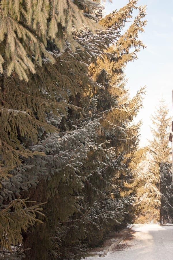 Abete di Natale Rami verdi fabulous fotografia stock libera da diritti