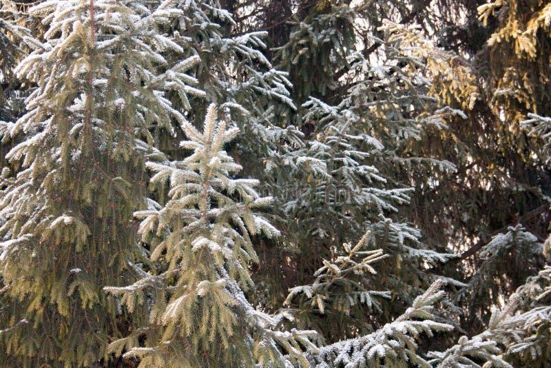 Abete di Natale Rami verdi fabulous immagine stock libera da diritti