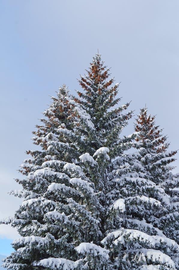 Abete rosso blu con i coni sui rami superiori coperti di neve fotografia stock libera da diritti