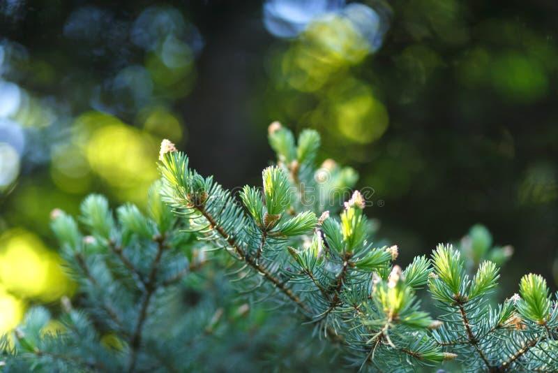Abete rosso con il giovane primo piano verde succoso dei tiri su un fondo vago della foresta con bokeh rotondo immagini stock
