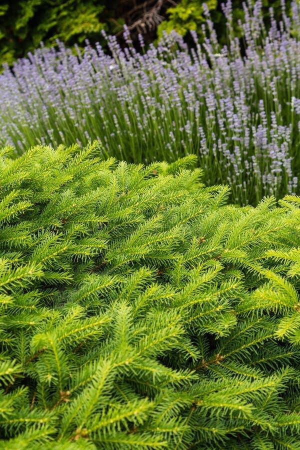Abete verde dai fiori porpora fotografia stock