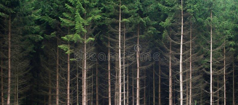 Abeti come componente di una foresta enorme che mostra il bordo dei itfotografia stock