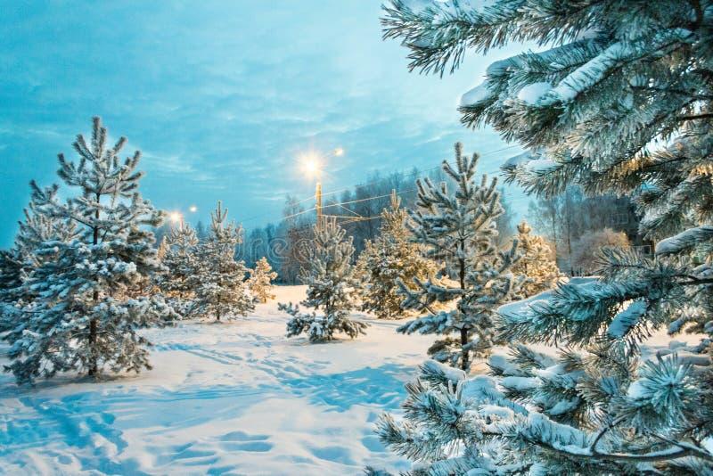 Abeti nel parco della città sera Rybinsk La Russia 2016 immagini stock