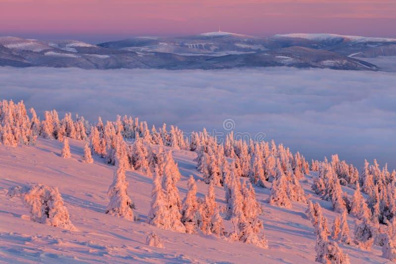 Abeti rossi bianchi maestosi che emettono luce dalla luce solare Scena invernale pittoresca e splendida Montagne di Jeseniky, rep fotografie stock libere da diritti
