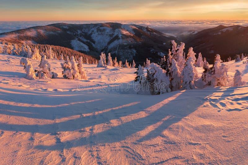 Abeti rossi bianchi maestosi che emettono luce dalla luce solare Scena invernale pittoresca e splendida Montagne di Jeseniky, rep fotografia stock