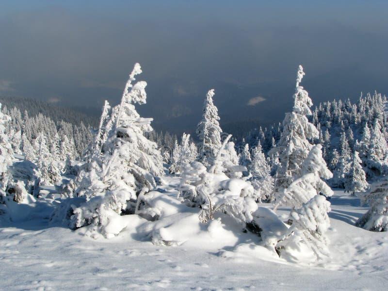 Abeti Snowbound. fotografie stock