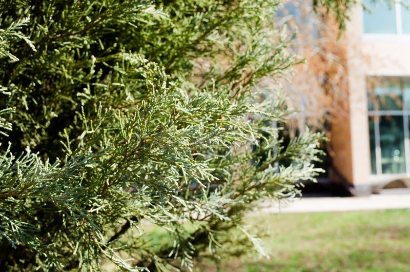 abeto ?rboles del Thuja en el parque Arbustos en el parque ?rboles con?feros Agujas del aroma E ?rea del parque Un lugar a camina foto de archivo libre de regalías
