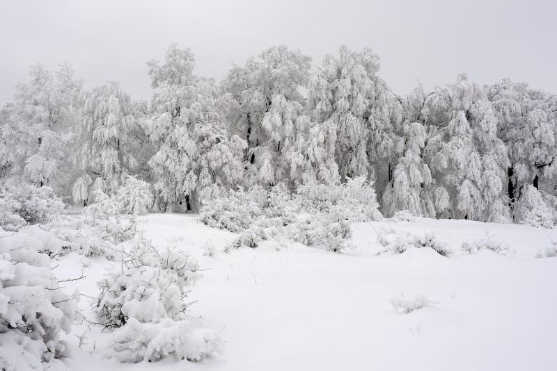 Abeto blanco en la estación del invierno fotos de archivo