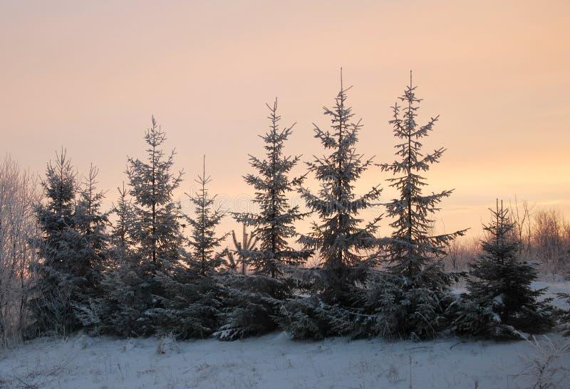 Abeto coberto de neve no inverno imagem de stock